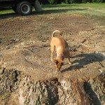 Supervisor inspects stump of ancient poplar 2007.
